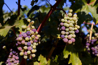 Napa-Valley-CA-Landscape-Grapes_IMG-2654