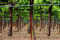 Yountville-Napa-CA-Vineyard-Rows_RTfnl_CWR-1960